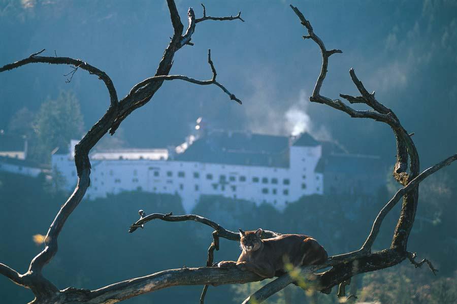 Berpuma-vor-dem-Schloss-im-Sommer,-Copyright-by-Bernhard-Bergmanntierpark-(c)-bernhard-bergmann